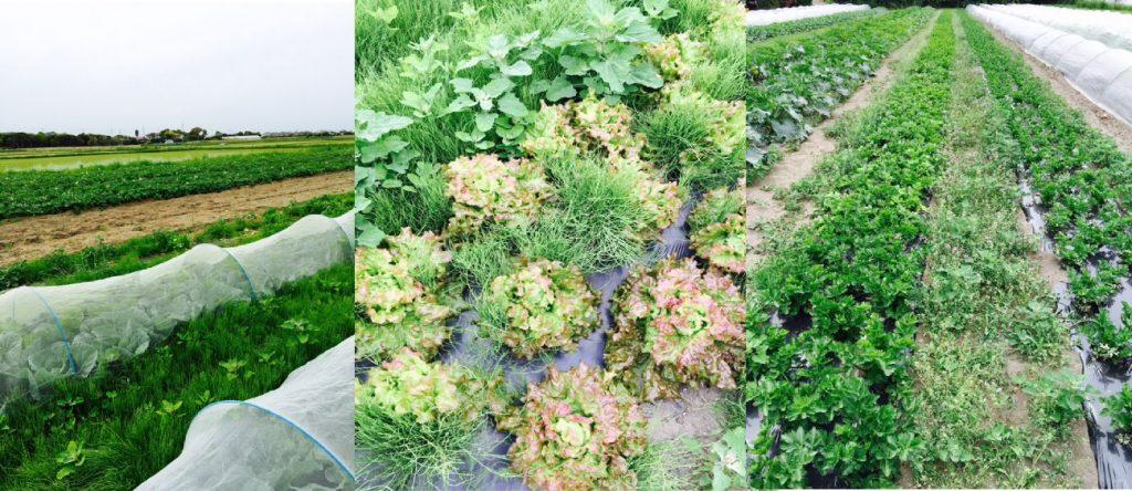 左:キャベツ(手前)・じゃがいも畑(奥) 中央:サニーレタス 右セロリ畑の様子