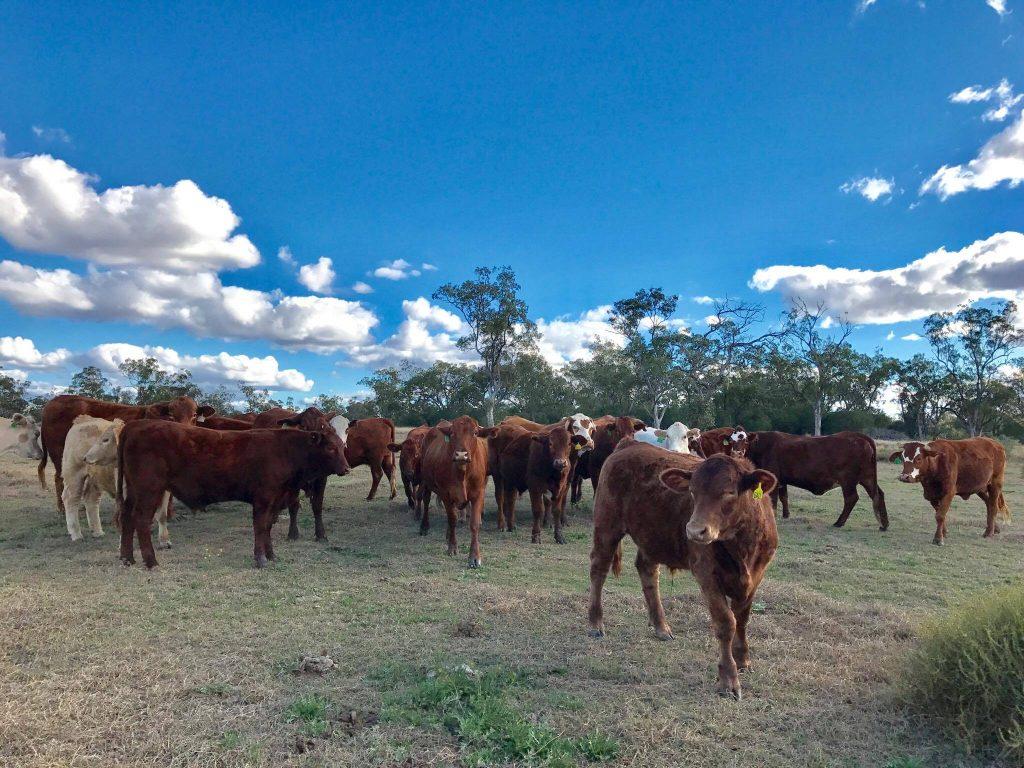 健康そのもので伸び伸びとした牛達です。