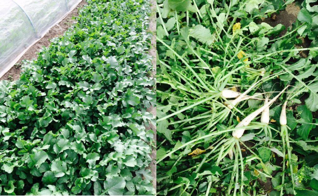 左が繁茂する大根、右は間引きしたかわいい大根。