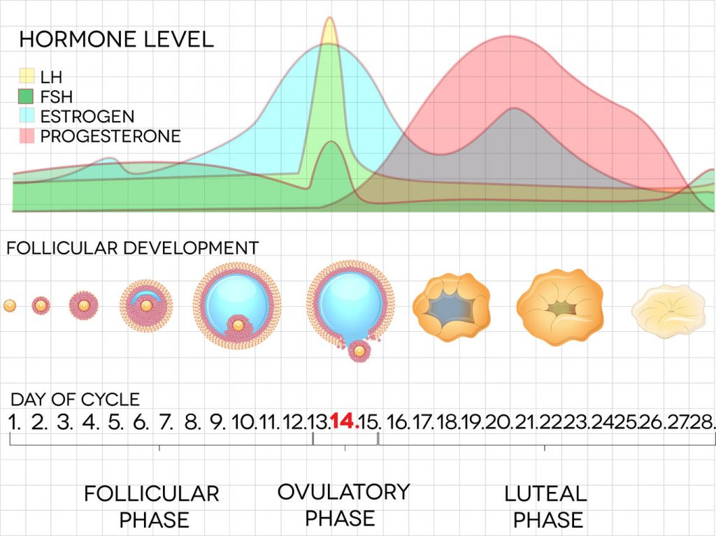 26552468 - female menstrual cycle, ovulation process and hormone levels, detailed medical illustration